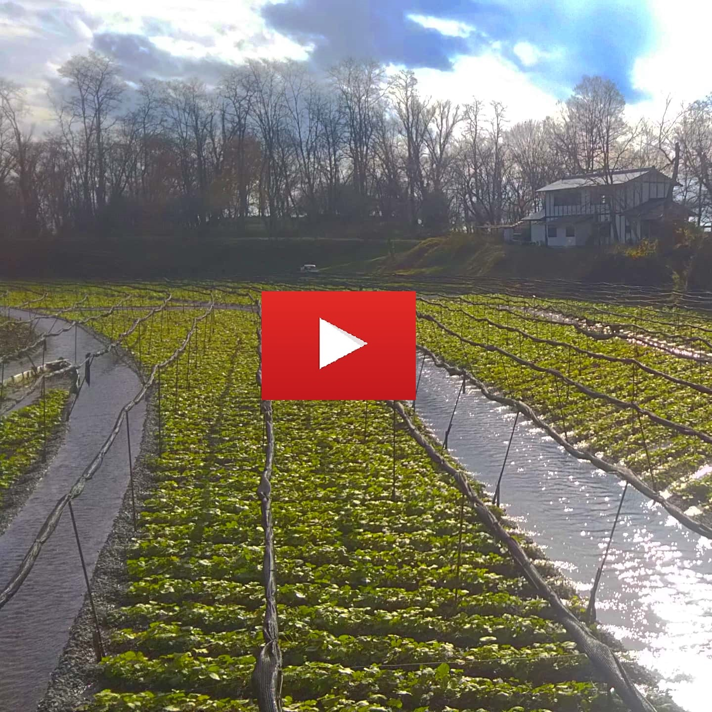 Videos wasabi farm