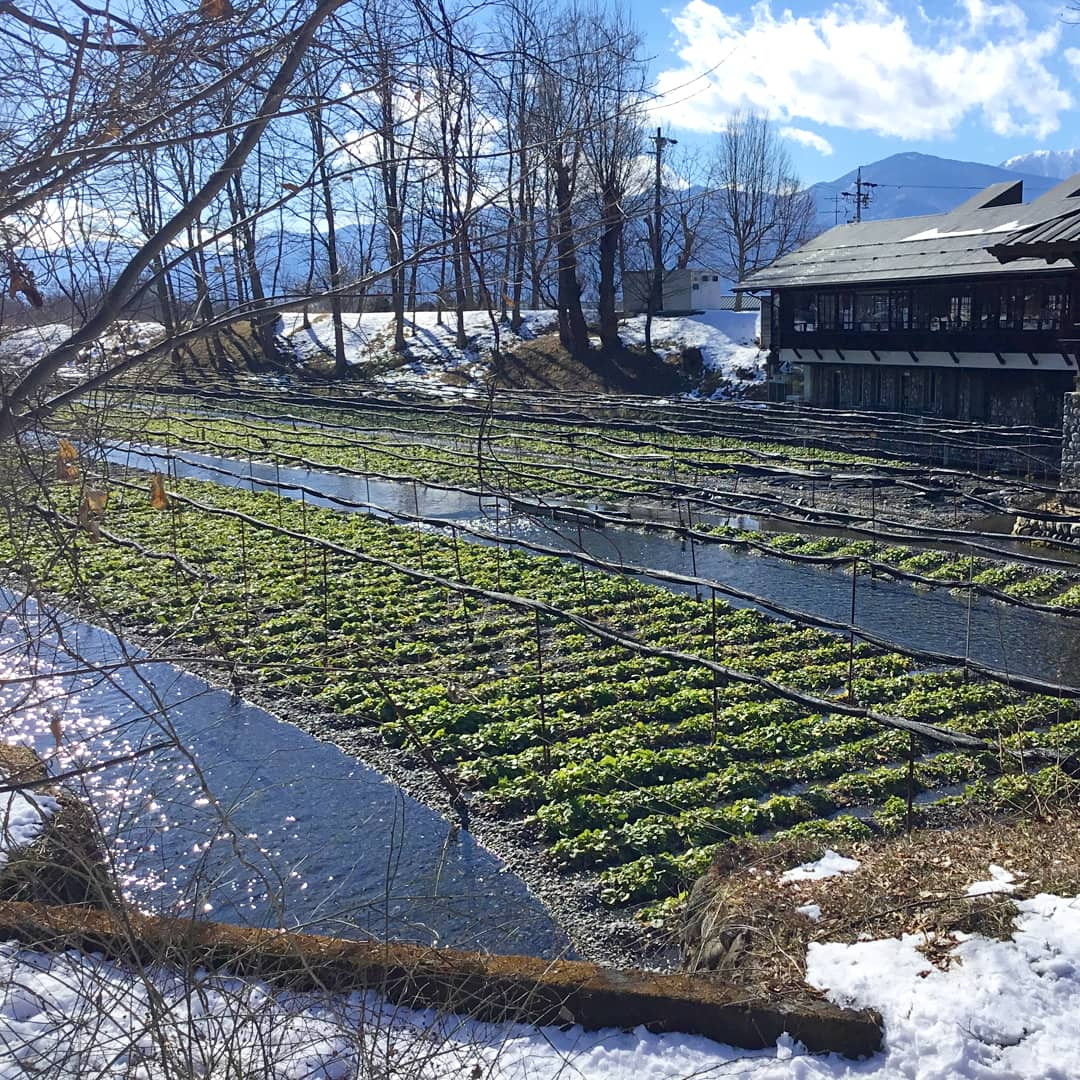 ferme de wasabi en hiver neige