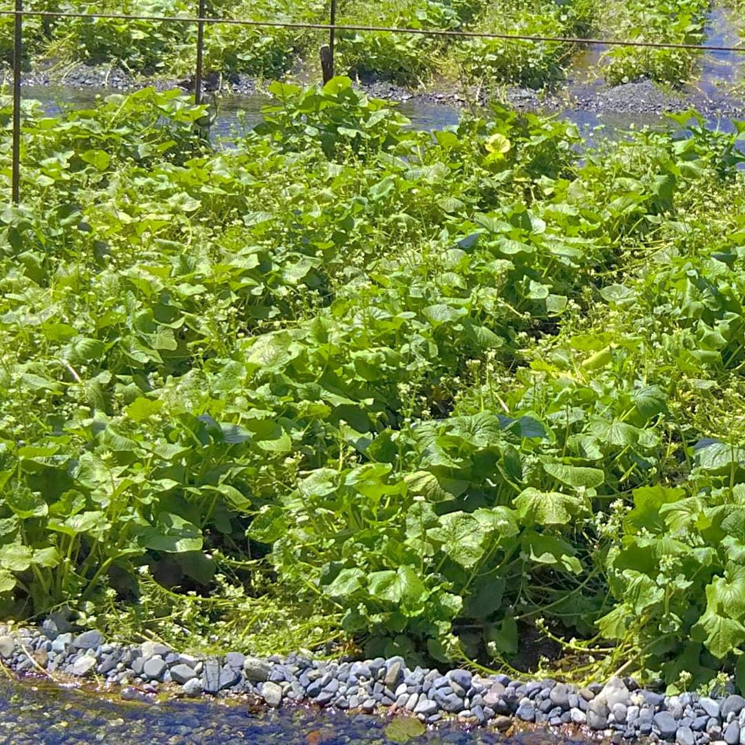 feuilles de wasabi