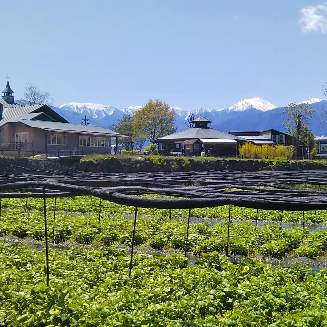 la ferme de wasabi et les alpes japonaises