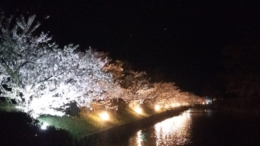 Sakura au Château de Matsumoto tradition
